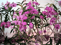 dendrobium collection